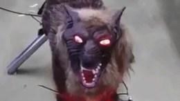 """Ο """"Super Monster Wolf"""" λειτουργεί με επαναφορτιζόμενες μπαταρίες και διαθέτει αισθητήρες κίνησης για να ανιχνεύει πότε πλησιάζουν άλλα ζώα. Photo @amna_news"""