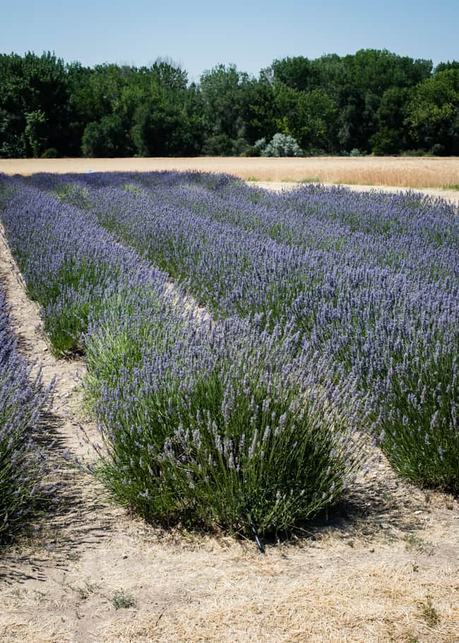 How to dry lavender | Hello Natural