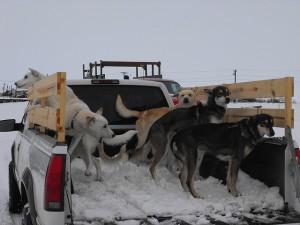 Iditarod Dog Kennel Horrors Sled Dog Action Coalition