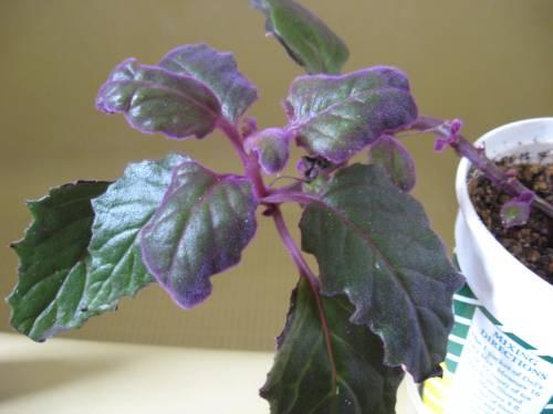 Medium Of Purple Passion Plant
