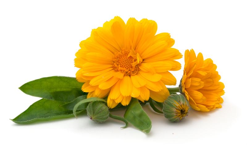 Ginger Flower Tea Buy Calendula Tea (marigold Tea): Benefits, Preparation