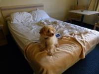 My dog peed on my bed! Why did he do something so gross?