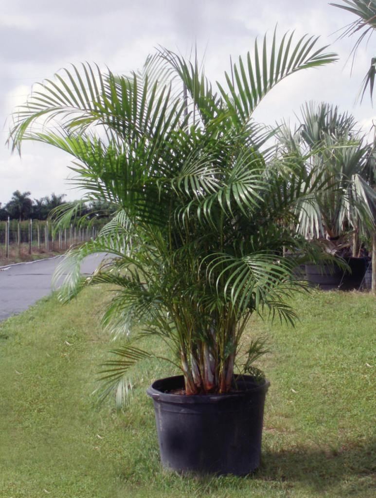 Areca Palm 25 Gallon