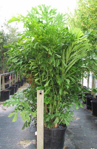 Fishtail-Palm