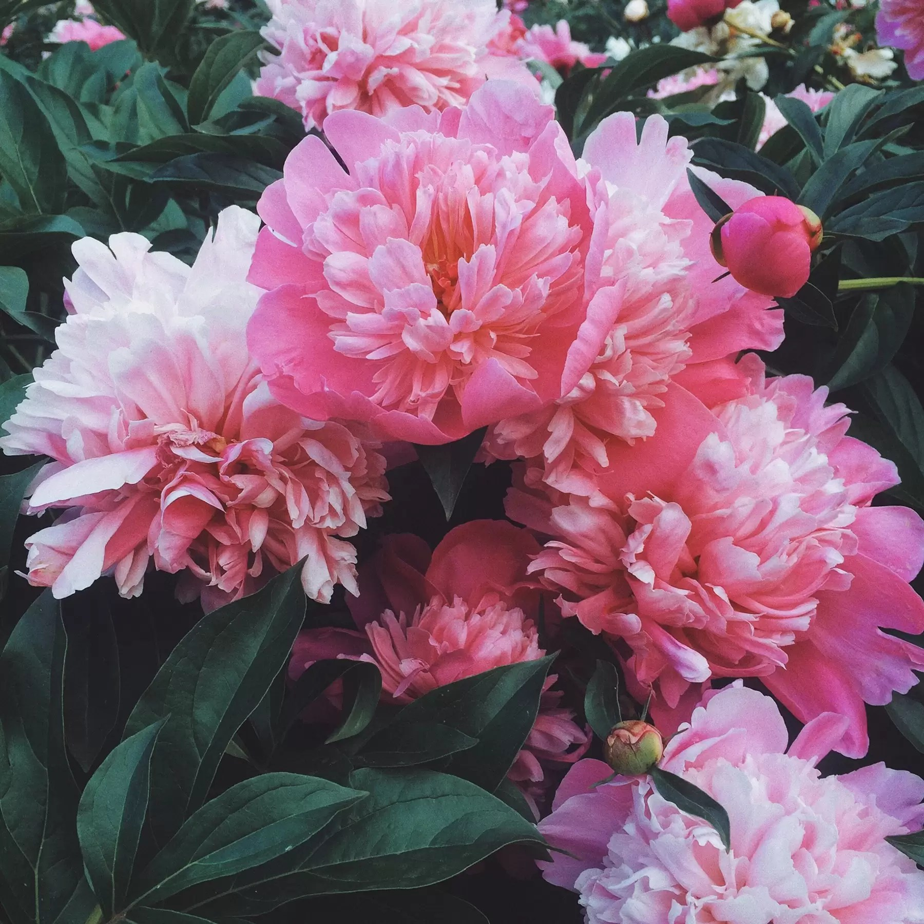 Pianese Flowers Peonies Season Everything You Need To Know House Garden