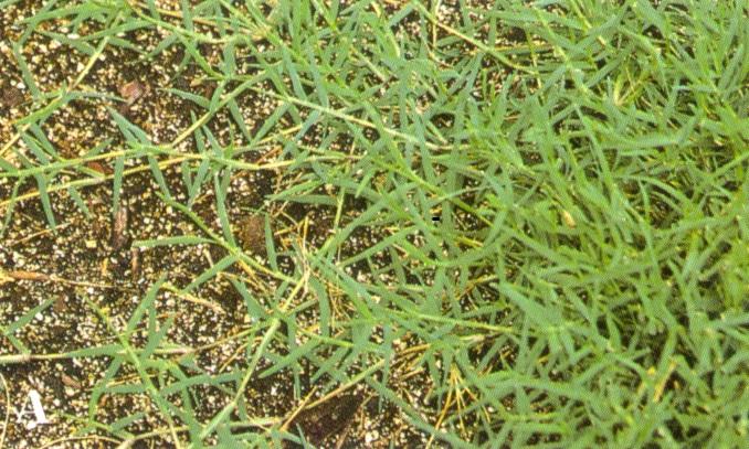 Bermudagrass Yearly Maintenance Program Home  Garden Information