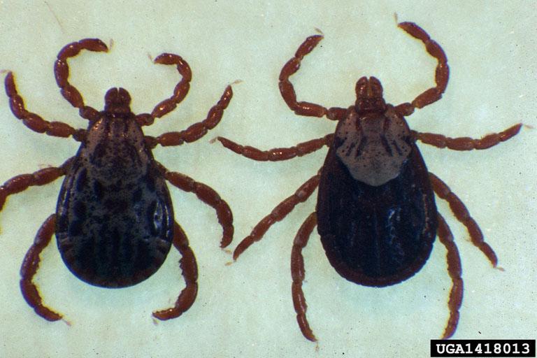 Ticks Around Your Home Home  Garden Information Center