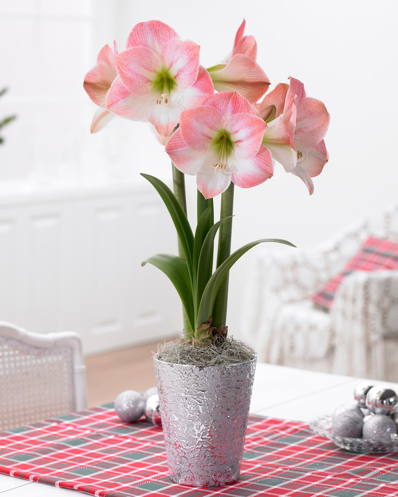 Amaryllis Pflanzen Amaryllis Growing Tips | Hgtv