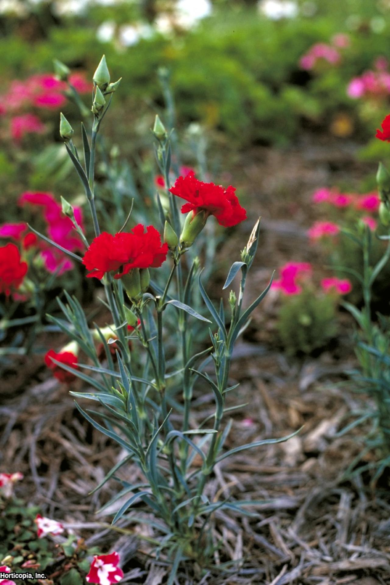Carnation Flower Plant Growing Carnations | Hgtv