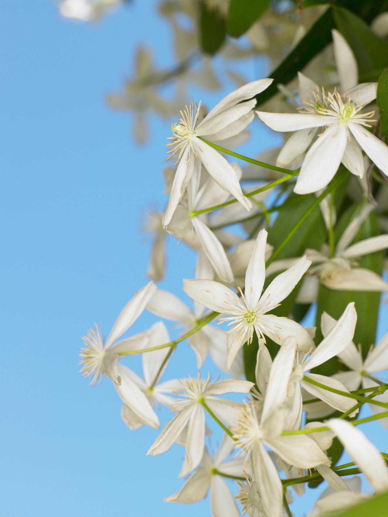 Design Decorate New House How To Cultivate Clematis | Hgtv