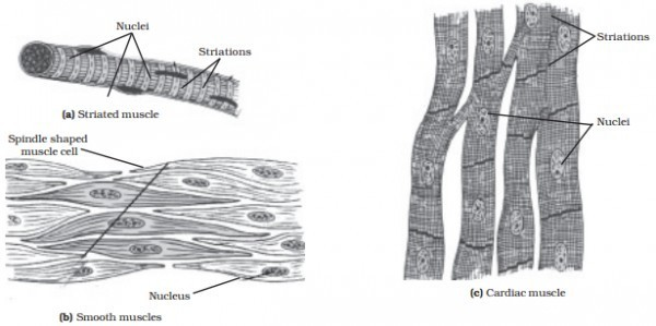cardiac tissue diagram