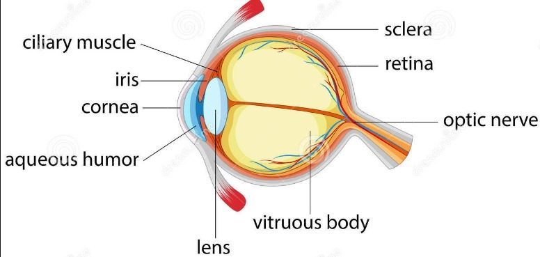 2 (a) Draw a simple diagram of the human eye and label clearly the