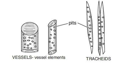 xylem vessel diagram