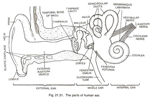 draw a neat diagram of human ear and label external ear and middle ear