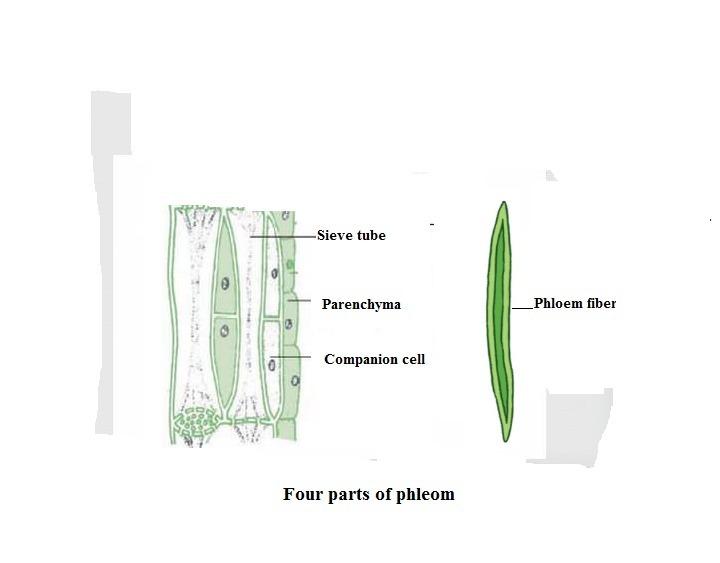 Diagram Of A Phloem car block wiring diagram