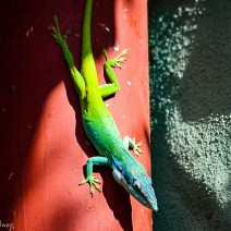 Colorful lizard in Cuba
