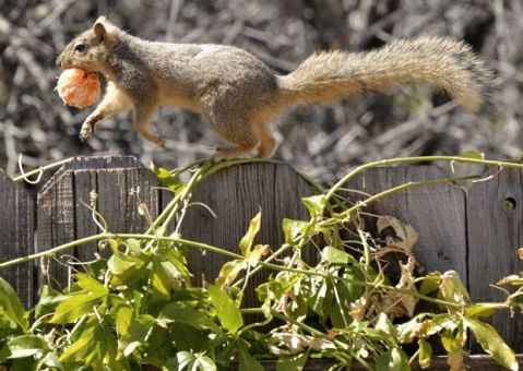 esquilo correndo com tangerina na boca