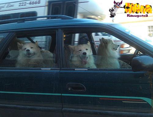 cachorro dirigindo