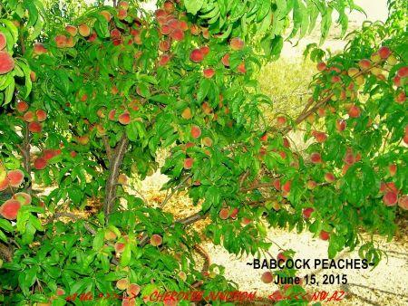 2015-6--Babcock-Peaches