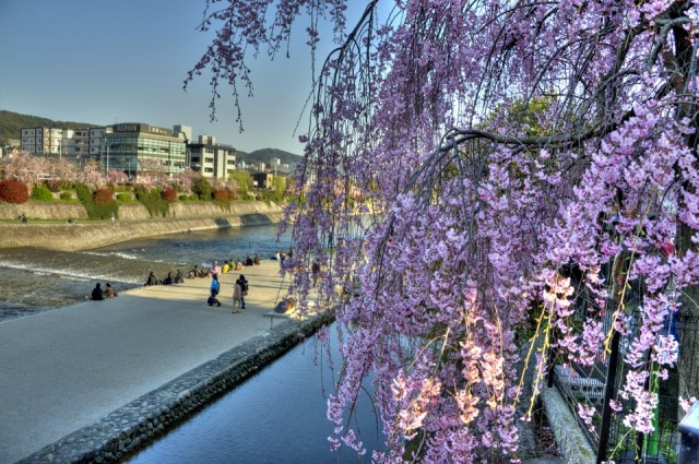Sakura at Kamogawa, Kyoto
