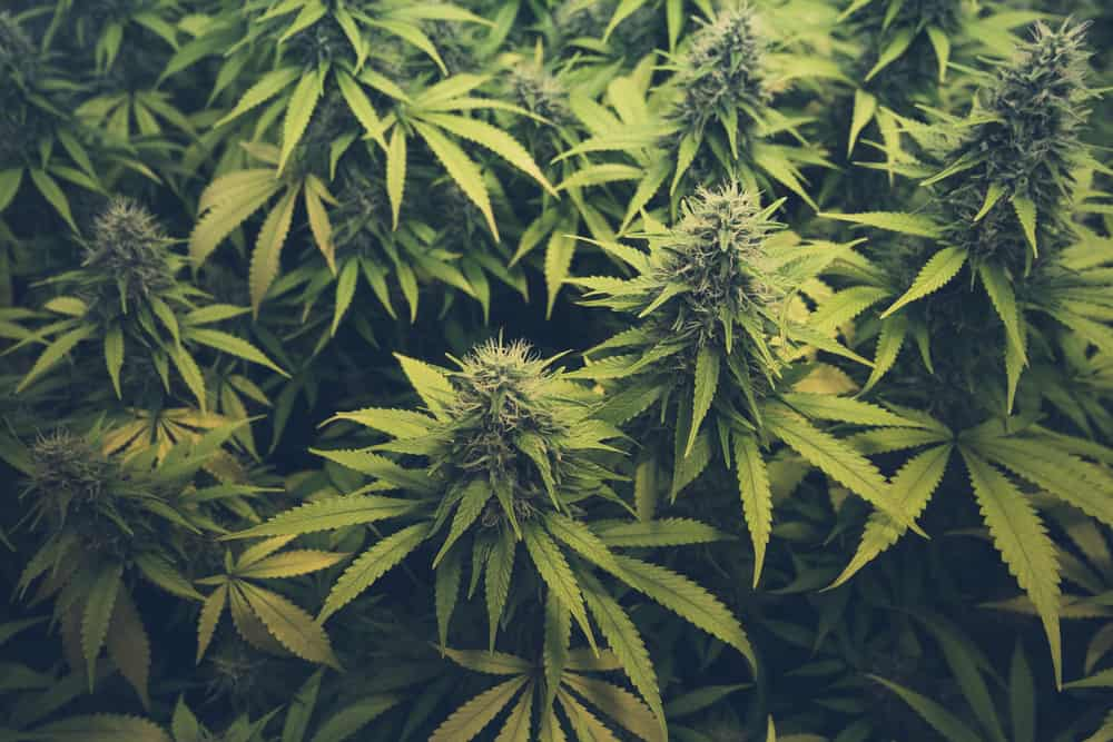 What is Cannabis? Learn Everything There Is To Know About Marijuana