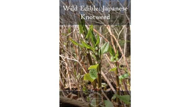 Wild Edible Japanese Knotweed