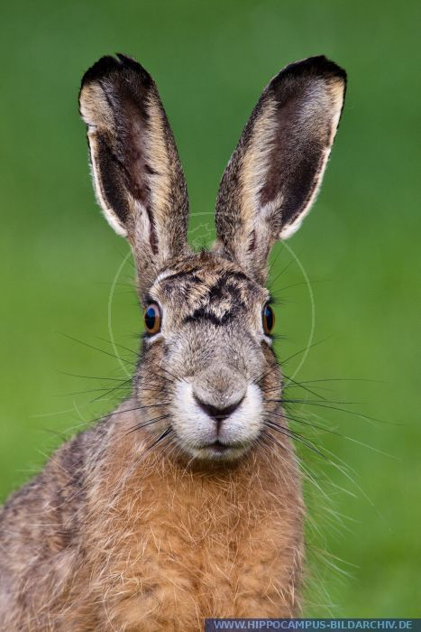 Animals And Birds Wallpaper Lepus Europaeus Alias European Hare Hippocampus Bildarchiv