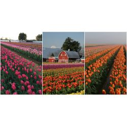 Small Crop Of Holland Bulb Farms