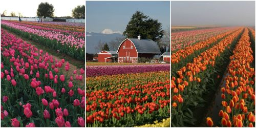 Medium Of Holland Bulb Farms