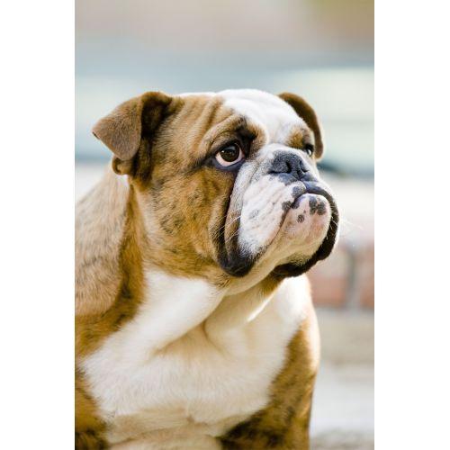 Medium Crop Of Bulldog Shih Tzu Mix