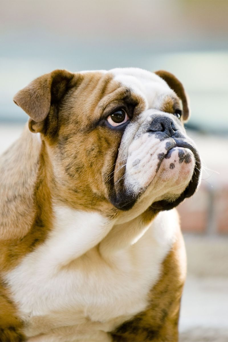 Large Of Bulldog Shih Tzu Mix