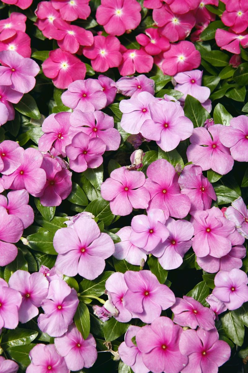 Simple Annual Flowers Annual Flowers List Annual Flowers Shade Uk