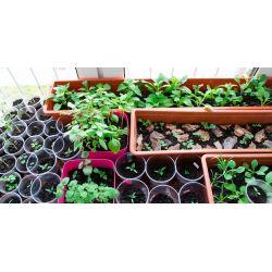 Small Crop Of Growing Potatoes Indoors