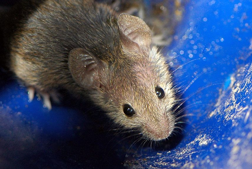 How to Get Rid of Mice Weapons of Mouse Destruction How to