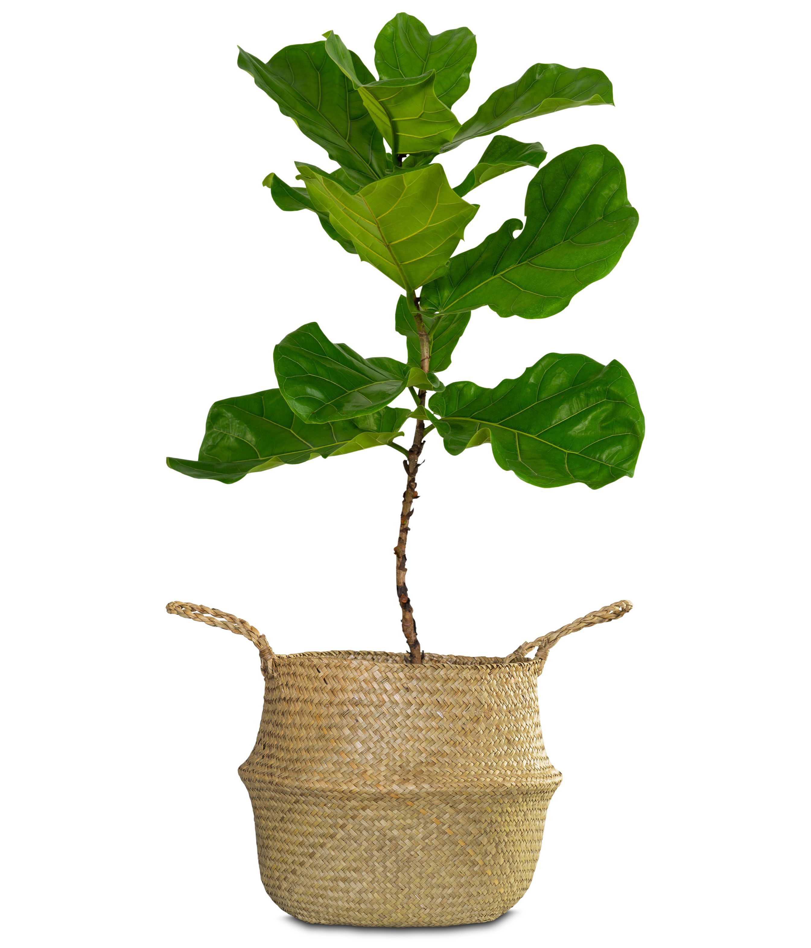 Chrysalidocarpus Space For Life Fiddle Leaf Fig Ficus Lyrata