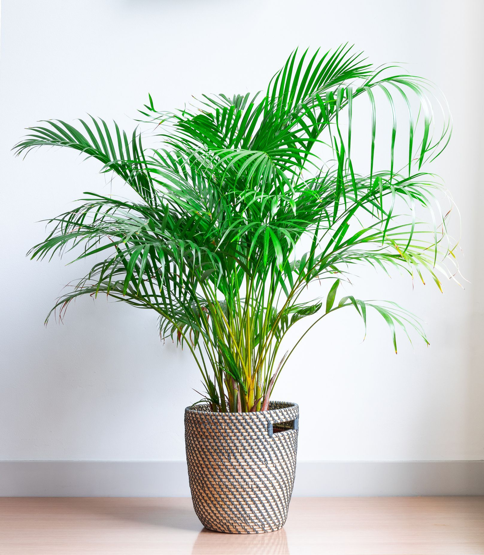 Chrysalidocarpus Space For Life Areca Palm Chrysalidocarpus Lutescens