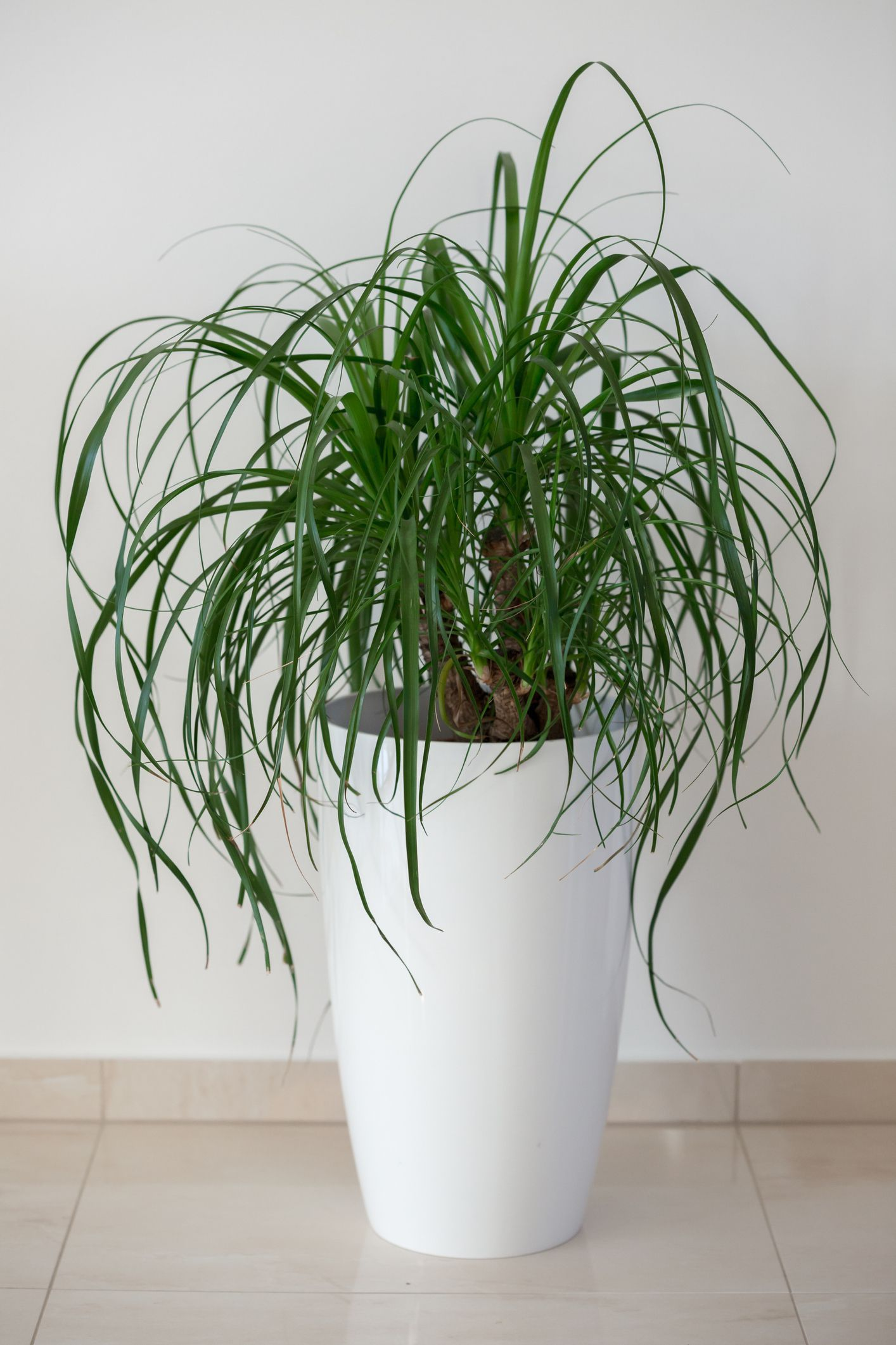 Chrysalidocarpus Space For Life Ponytail Palm Beaucarnea Recurvata