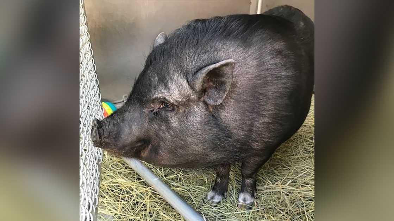FOUND Pot-bellied pig \u2013 She\u0027s \u0027lovely,\u0027 \u0027well-mannered,\u0027 Sac - sac shelter