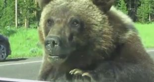 Family-pick-up-unusual-hitchhiker--a-grizzly-bear