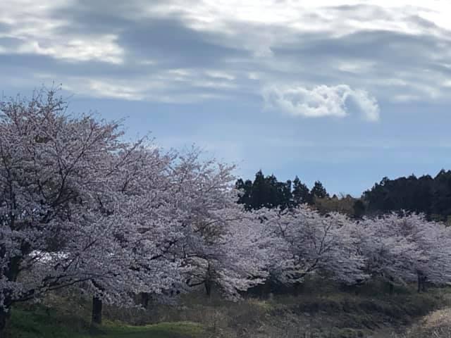 今が満開の桜🌸、今度の週末まで持つかどうか?