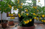 Off The Grid Living: The Fastest Way To Grow Lemon Trees Indoors