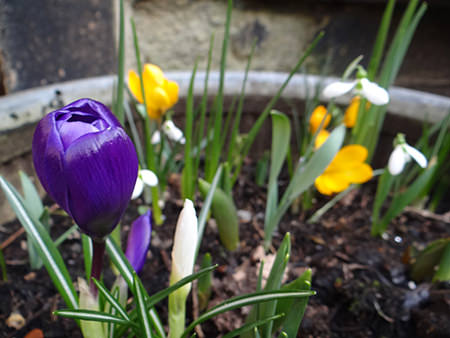 Multi-coloured crocuses flowering at the beginning of March