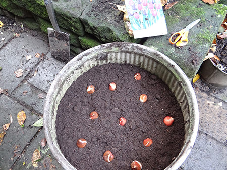 spring bulbs being planted into a dolly tub at the beginning of November