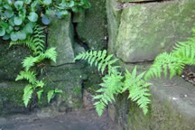 ferns growing between stone bricks in a wall