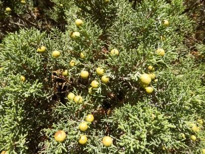 Juniperus phoenicea. Localement la sabine. Sabina ( Oc ). Souvent en peuplements mono-spécifiques sur calcaire.