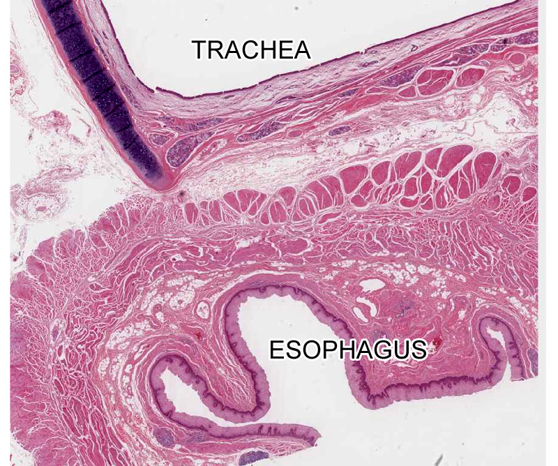 Epithelial Tissue histology