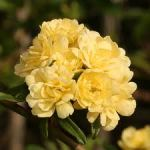 Lady Banksia Roses