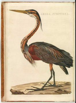 Purperen reiger. Uit: C. Nozeman e.a., Nederlandsche vogelen. Deel 4.  Amsterdam, 1809. Coll. Koninklijke Bibliotheek, Den Haag