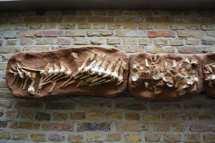 Compleet skelet mosasaurus onder de hamer