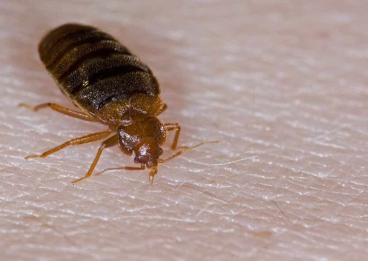 Images Of Bed Bugs They Re Back A Bed Bug History History